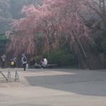 トロッコ亀岡の桜もボチボチ❗